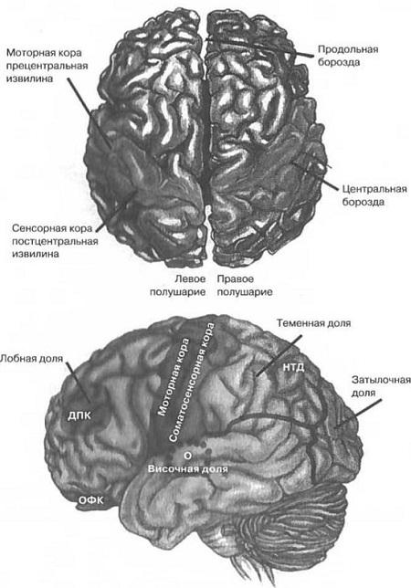 Рис. 3. Человеческий мозг, вид сверху и слева