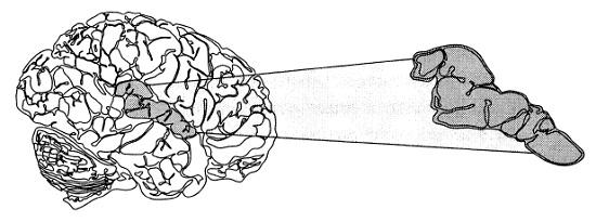 Рис. 1. Передняя верхняя височная извилина