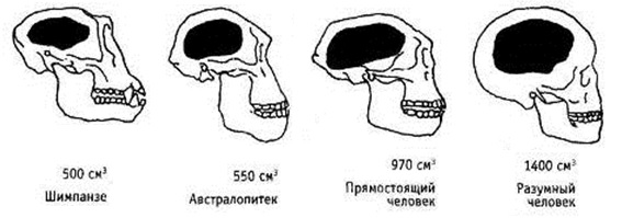 Рис. 1. В процессе эволюции мозг увеличился в 2 с лишним раза
