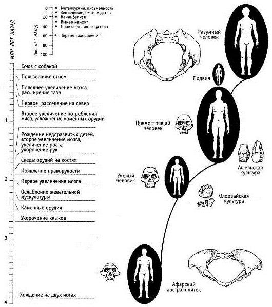 Рис. 4. Главные этапы эволюции рода Человек