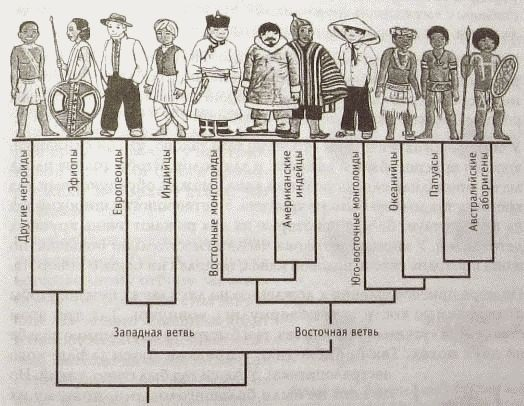 Рис. 5. Последовательность расхождения рас разумного человека