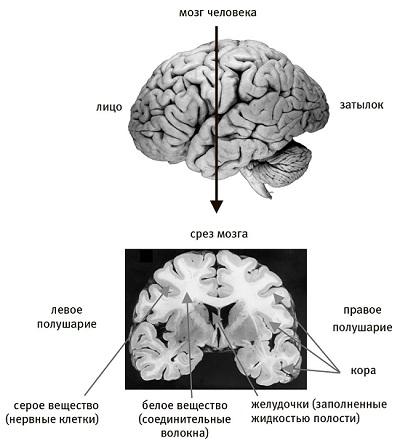 Рис. 1. Общий вид и срез головного мозга человека