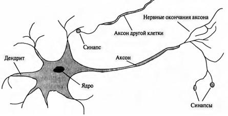 Рис. 12. Схема нейрона