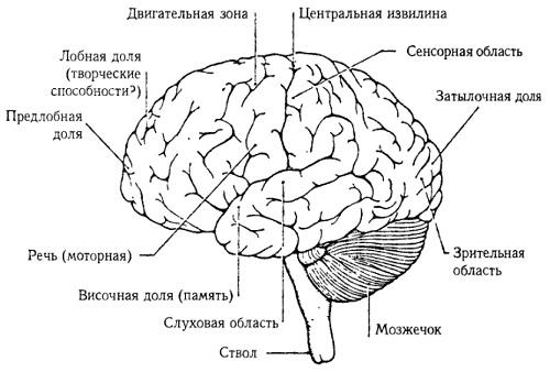 Рис. 13. Человеческий мозг (вид слева)