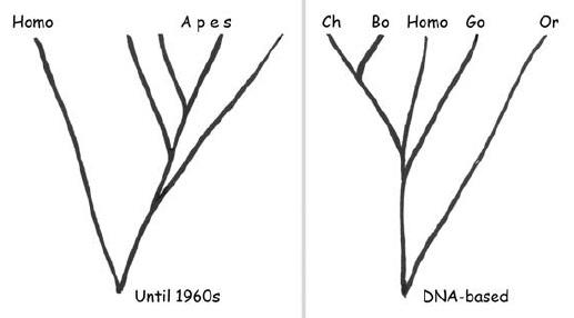 Рис. 4. Изменение представлений о месте рода Homo