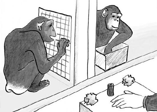 Рис. 5. Просоциальный эксперимент с шимпанзе