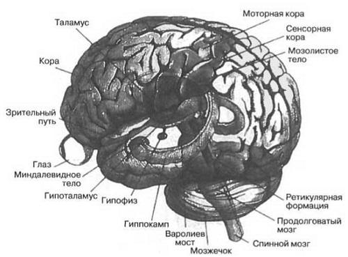 Рис. 2. Схематичное изображение человеческого мозга