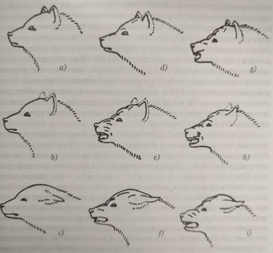 Рис. 1. Движения лицевой мускулатуры при конфликте между побуждениями к нападению и к бегству